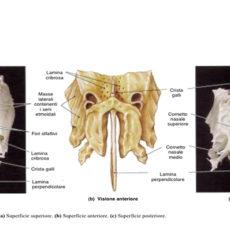 Etmoide descrizione osso e immagini