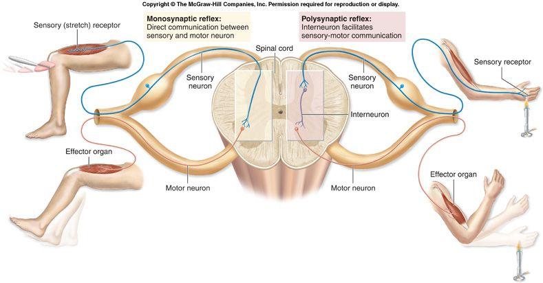 Cosa è la propriocezione muscolare